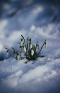 Spring Flowers pushing through a layer of snow